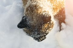 Siamese snowshoe cat is walking in the snow in winter royalty free stock photography