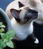 Siamese Snowshoe Cat With a Catnip Plant Royalty Free Stock Photography