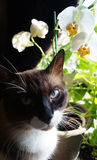 Siamese Snowshoe Cat In Window With Flowers. A Siamese Snowshoe sitting in a window with Orchids Stock Photography