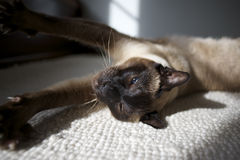 Siamese cat ywan Royalty Free Stock Photography
