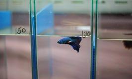 Siamese stridighetfisk. Royaltyfri Foto