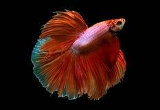 Siamese stridighetfisk Royaltyfri Fotografi