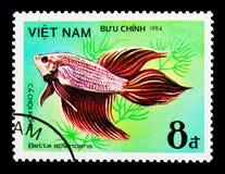 Siamese stridighetfisk (Betta splendens), fisk - dekorativ serie Royaltyfria Bilder