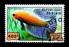Siamese stridighetfisk (Betta Splendens), fiskserie, circa 199 Royaltyfria Foton