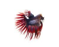 Siamese stridighetfisk, bettafisk på vit bakgrund Arkivfoton