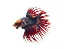 Siamese stridighetfisk, bettafisk på vit bakgrund Royaltyfri Foto