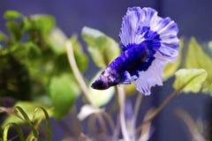 Siamese stridighetfisk, bettasplendens (Halfmoonbettaen) fotografering för bildbyråer