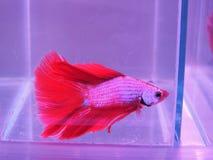 Siamese stridighetfisk eller Betta fisk Fotografering för Bildbyråer