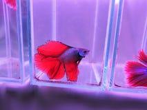 Siamese stridighetfisk eller Betta fisk Royaltyfria Foton