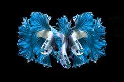 Siamese stridighetfisk för blå drake, bettafisk på svart Arkivbild