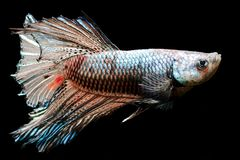 Siamese stridighetfisk för färgrik choklad Arkivfoto