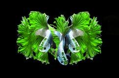 Siamese stridighetfisk för grön drake, bettafisk som isoleras på svart Fotografering för Bildbyråer