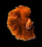 Siamese stridighetfisk för orange drake, bettafisk som isoleras på blac Royaltyfria Bilder