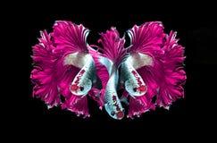 Siamese stridighetfisk för rosa drake, bettafisk som isoleras på svart Royaltyfria Bilder