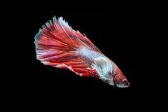 Siamese stridighetfisk på svart arkivfoton
