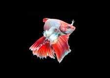 Siamese stridighetfisk på svart fotografering för bildbyråer