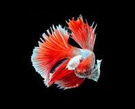 Siamese stridighetfisk på svart royaltyfria bilder