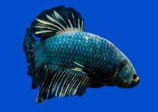 Siamese stridighetfisk på svart royaltyfri bild