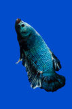 Siamese stridighetfisk på svart arkivfoto