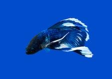 Siamese stridighetfisk på svart arkivbild