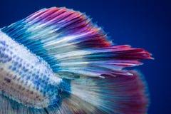 Siamese stridighetfisk på svart royaltyfri fotografi