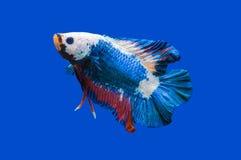 Siamese stridighetfisk på svart royaltyfri foto