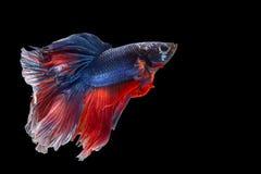Siamese stridighetfisk som isoleras på betta I för ` s för svart bacground thailändsk Fotografering för Bildbyråer