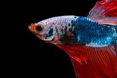 Siamese stridighetfisk som isoleras på betta I för ` s för svart bacground thailändsk Royaltyfri Bild