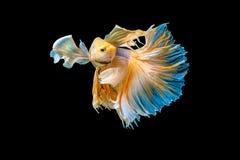 Siamese stridighetfisk som isoleras på betta I för ` s för svart bacground thailändsk Royaltyfri Fotografi