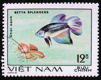 Siamese stridighetfiskBetta splendens, serie för `-akvariefisk`, circa 1980 Fotografering för Bildbyråer