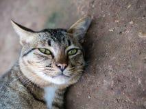 Siamese strimmig kattkatt som kopplar av och vilar, medan se kameran royaltyfria foton