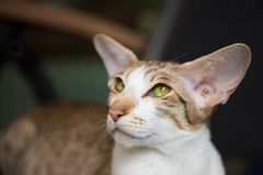 Siamese tabby cat Royalty Free Stock Images