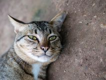 Siamese tabby cat, relaxing and resting while looking at the camera. royalty free stock photos