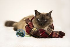 Siamese tai cat, wearing knited scarf, laying outdoors in snow in winter, near mouse toy. Advertising toys for cats. stock photography