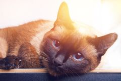 Siamese Thai cat lies and looks into the camera, in the frame, in the soul. Sadness, melancholy, loneliness. Royalty Free Stock Photography