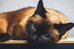 Siamese Thai cat lies and looks into the camera, in the frame, in the soul. Sadness, melancholy, loneliness. Stock Image