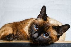 Siamese Thai cat lies and looks into the camera, in the frame, in the soul. Sadness, melancholy, loneliness. Siamese Thai cat lies and looks into the camera, in royalty free stock image