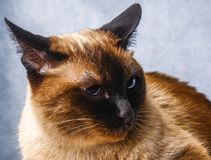 Siamese Thai cat lies and looks with sadness, anguish, anger. Siamese Thai cat lies and looks with sadness, anguish, anger stock image