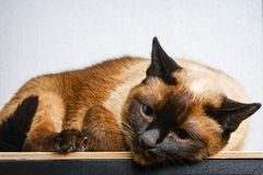Siamese Thai cat lies and looks with sadness, anguish, anger. Siamese Thai cat lies and looks with sadness, anguish, anger stock images