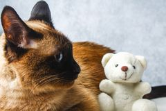 Siamese Thai cat lies and looks with sadness, anguish, anger. Siamese Thai cat lies and looks with sadness, anguish, anger Royalty Free Stock Photo