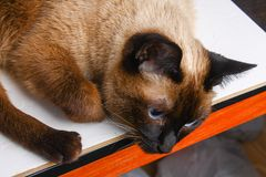 Siamese Thai cat lies and looks with sadness, anguish, anger. Siamese Thai cat lies and looks with sadness, anguish, anger royalty free stock image