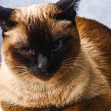 Siamese Thai cat lies and looks with sadness, anguish, anger. Siamese Thai cat lies and looks with sadness, anguish, anger stock photo