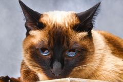 Siamese Thai cat lies and looks with sadness, anguish, anger. Siamese Thai cat lies and looks with sadness, anguish, anger stock photos