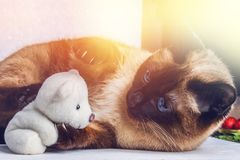 Siamese Thai cat plays with a teddy bear. Claws, teeth, aggression. Siamese Thai cat plays with a teddy bear. Claws, teeth, aggression stock photos
