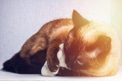 Siamese Thai cat plays with a teddy bear. Claws, teeth, aggression. Siamese Thai cat plays with a teddy bear. Claws, teeth, aggression royalty free stock photos