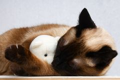 Siamese Thai cat plays with a teddy bear. Claws, teeth, aggression. He sleeps with a toy. Siamese Thai cat plays with a teddy bear. Claws, teeth, aggression. He royalty free stock image
