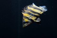 SIAMESE TIGER FISH Royalty Free Stock Photos