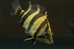 SIAMESE TIGER FISH Royalty Free Stock Images