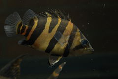 SIAMESE TIGER FISH Royalty Free Stock Image