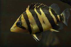SIAMESE TIGER FISH Stock Photo